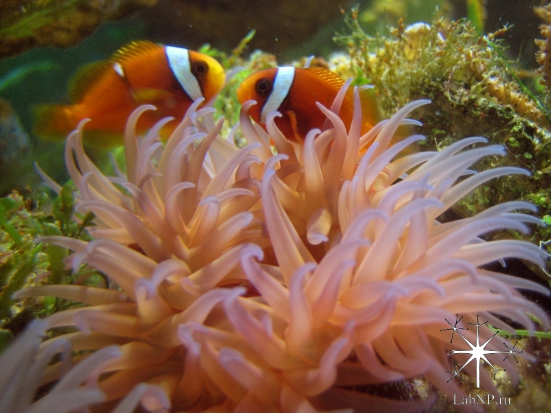 Clown fishes inhabited an anemone from the North Atlantic
