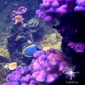 Большие колонии Stylophora pistillata в аквариуме