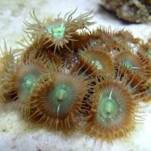 Protopalythoa черенок