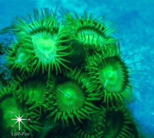 Флуоресценция Protopalythoa sp.